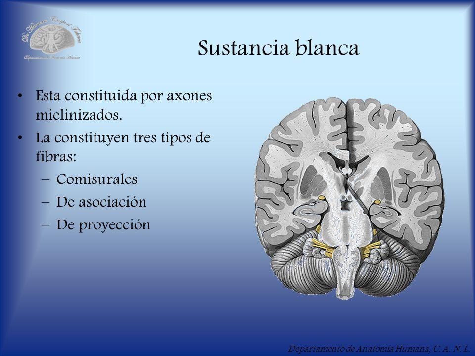 Sustancia blanca Esta constituida por axones mielinizados.