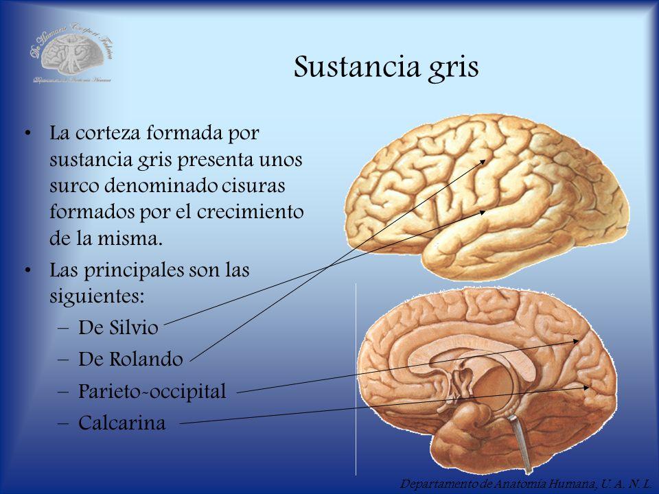 Sustancia gris La corteza formada por sustancia gris presenta unos surco denominado cisuras formados por el crecimiento de la misma.