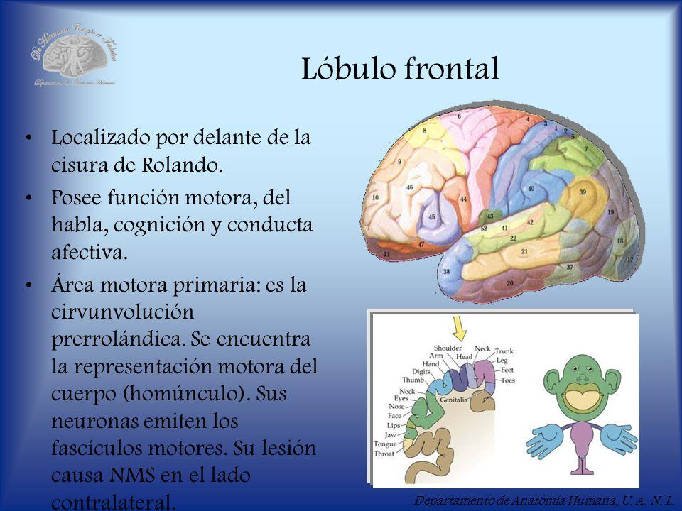 Lóbulo frontal Localizado por delante de la cisura de Rolando.