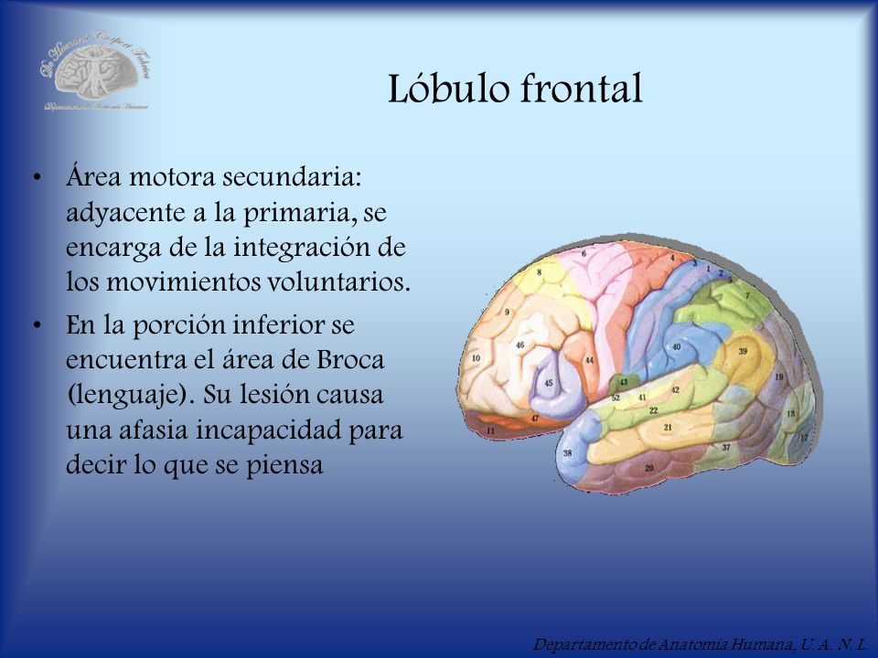 Lóbulo frontal Área motora secundaria: adyacente a la primaria, se encarga de la integración de los movimientos voluntarios.