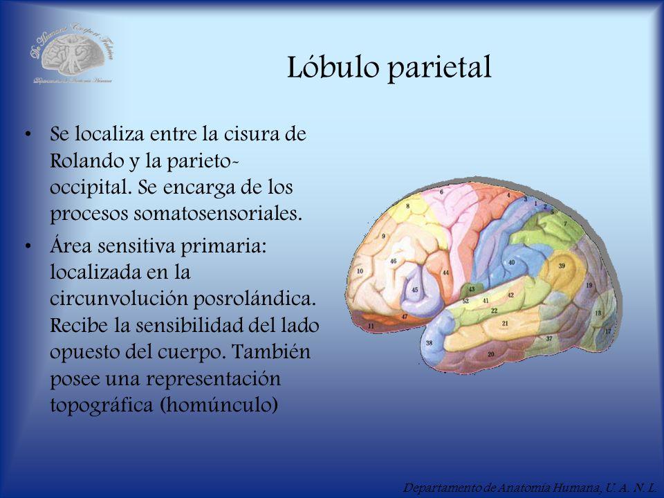 Lóbulo parietalSe localiza entre la cisura de Rolando y la parieto-occipital. Se encarga de los procesos somatosensoriales.