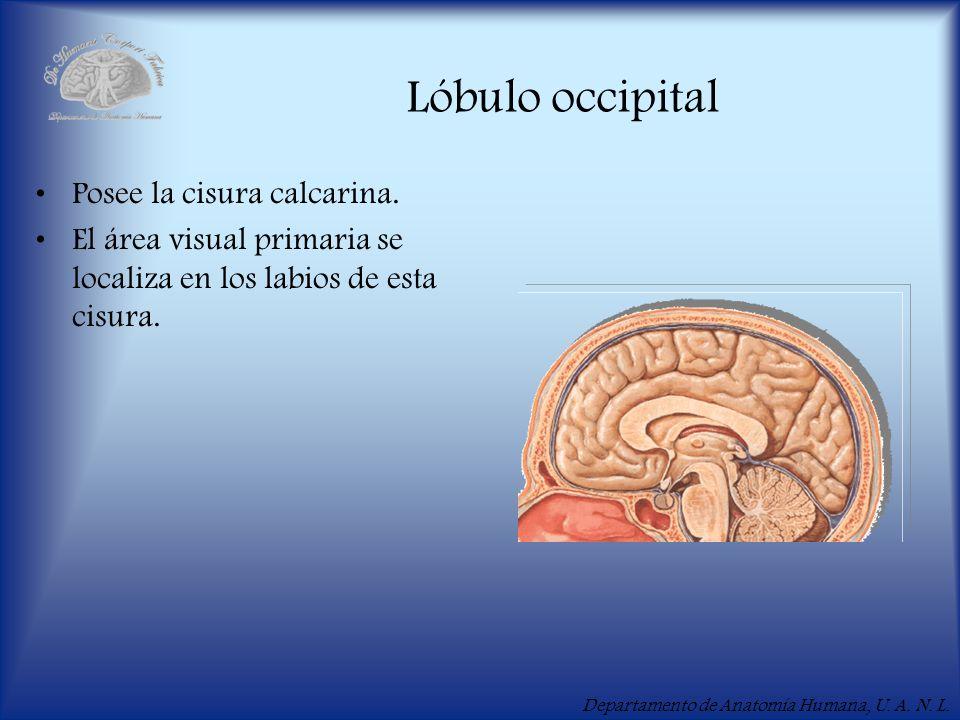 Lóbulo occipital Posee la cisura calcarina.