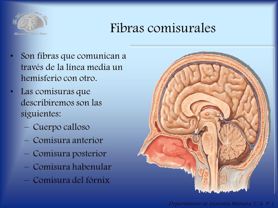 Fibras comisurales Son fibras que comunican a través de la línea media un hemisferio con otro. Las comisuras que describiremos son las siguientes: