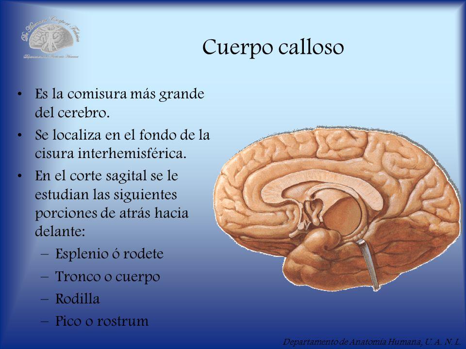 Cuerpo calloso Es la comisura más grande del cerebro.