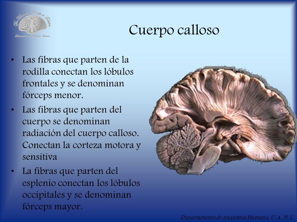 Cuerpo callosoLas fibras que parten de la rodilla conectan los lóbulos frontales y se denominan fórceps menor.