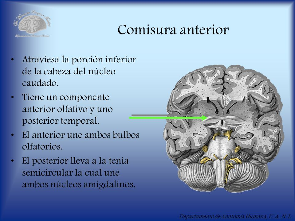 Comisura anteriorAtraviesa la porción inferior de la cabeza del núcleo caudado. Tiene un componente anterior olfativo y uno posterior temporal.