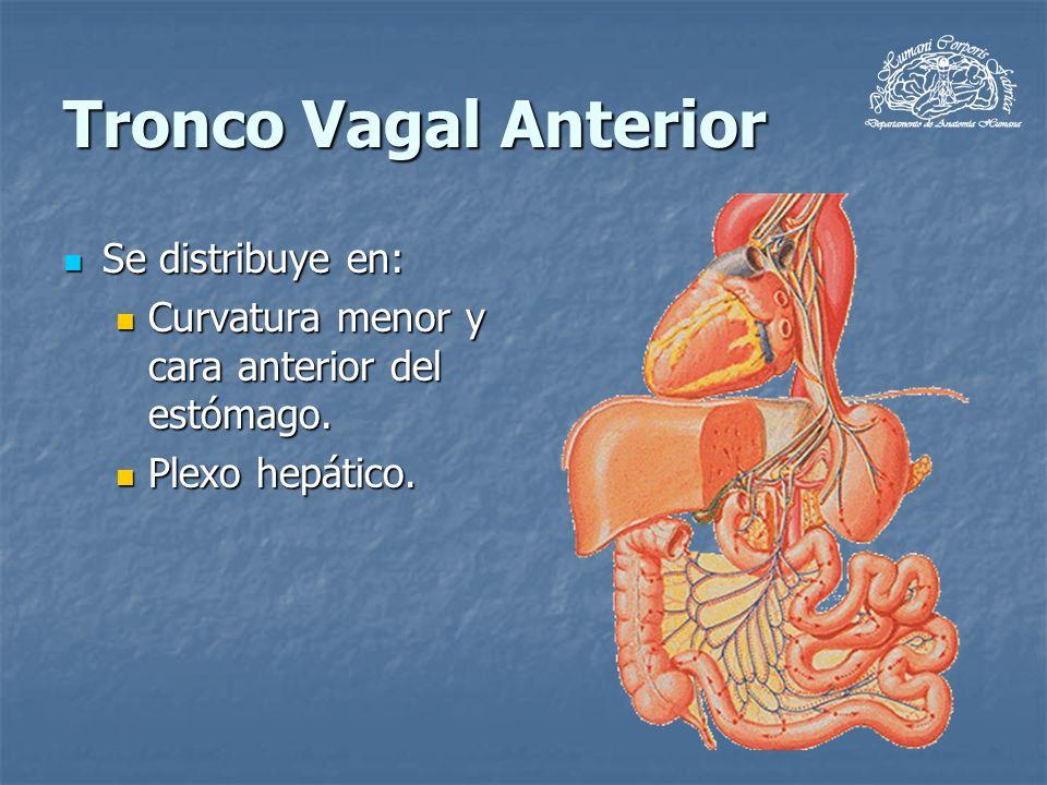Tronco Vagal Anterior Se distribuye en: