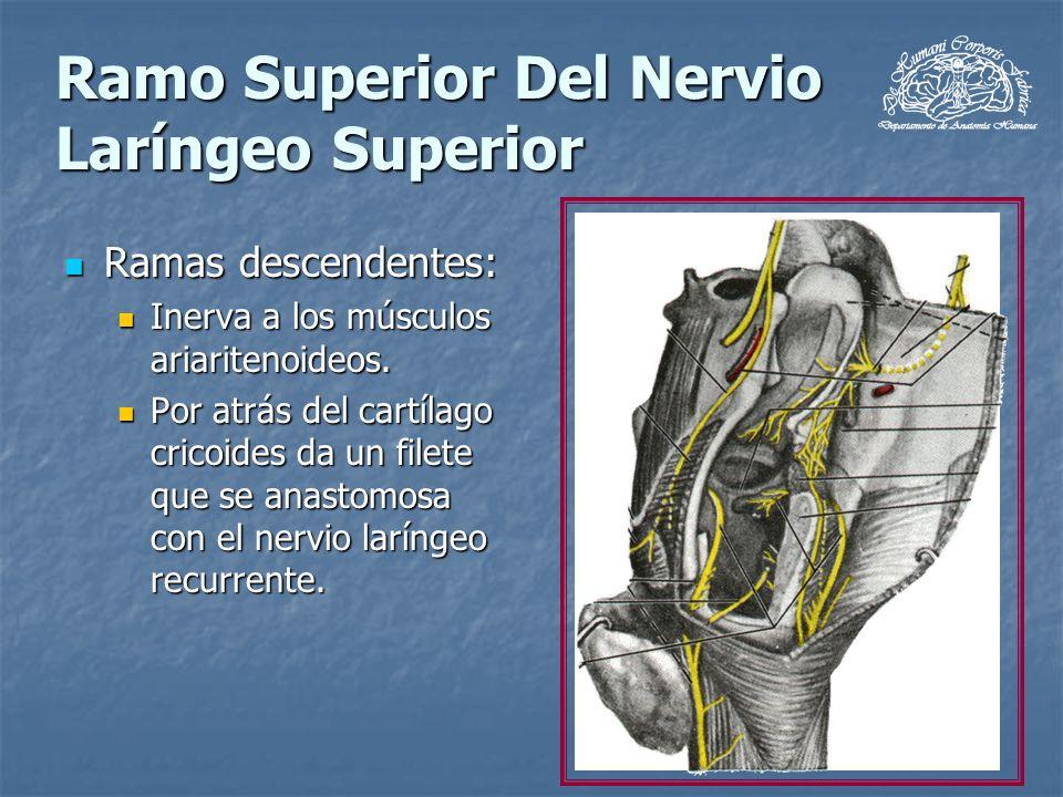 Ramo Superior Del Nervio Laríngeo Superior