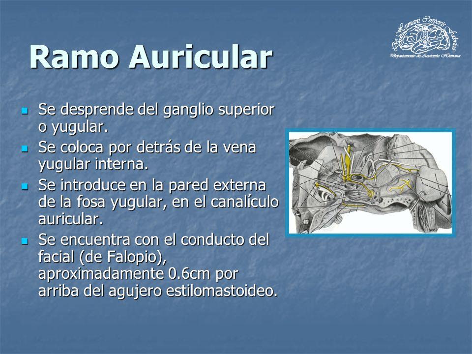 Ramo Auricular Se desprende del ganglio superior o yugular.