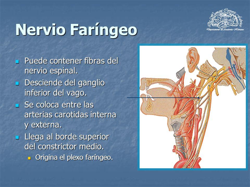 Nervio Faríngeo Puede contener fibras del nervio espinal.
