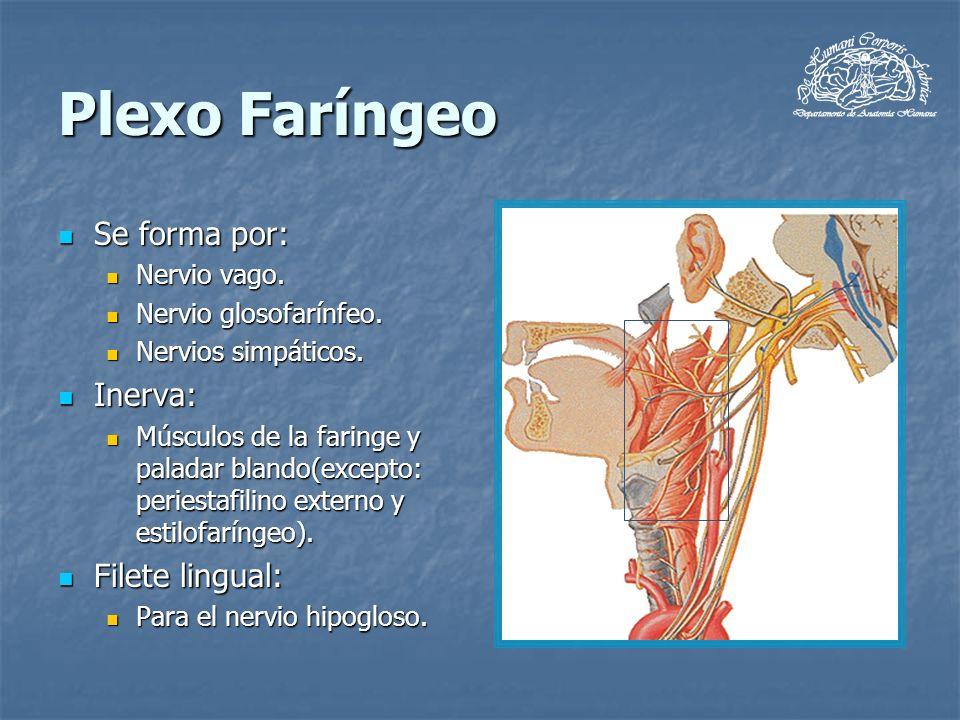 Plexo Faríngeo Se forma por: Inerva: Filete lingual: Nervio vago.