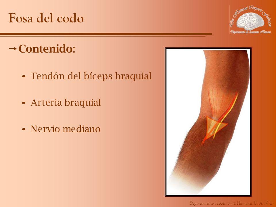 Fosa del codo Contenido: Tendón del bíceps braquial Arteria braquial