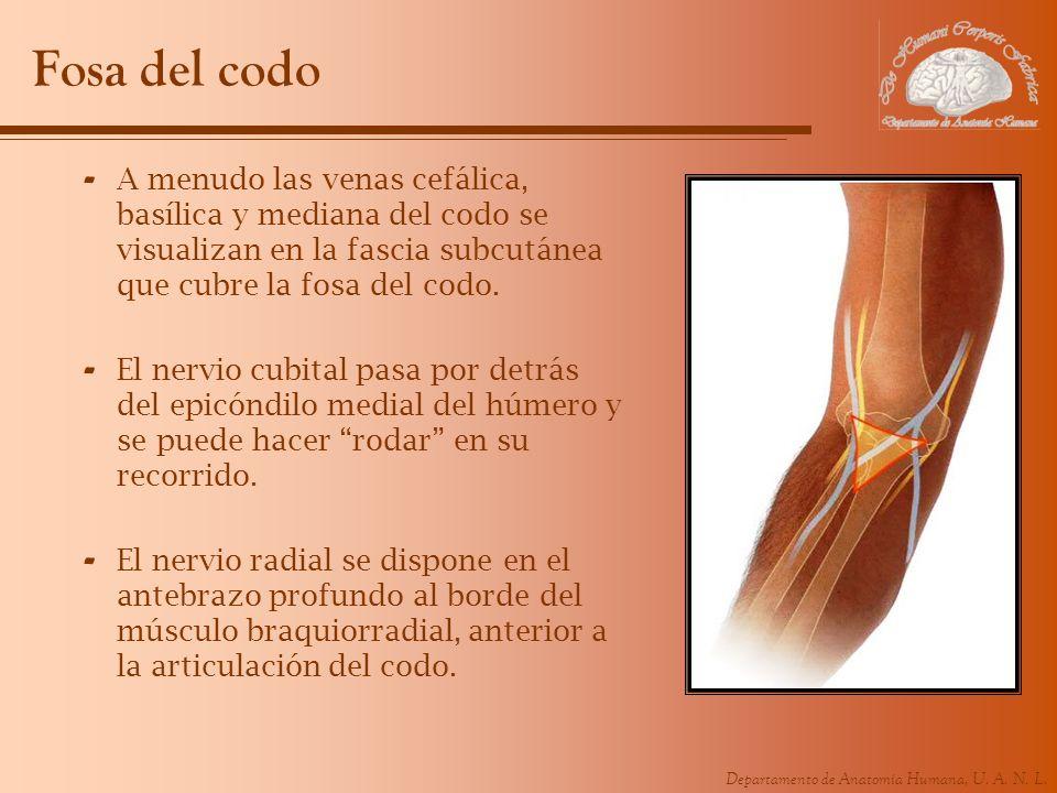 Fosa del codo A menudo las venas cefálica, basílica y mediana del codo se visualizan en la fascia subcutánea que cubre la fosa del codo.