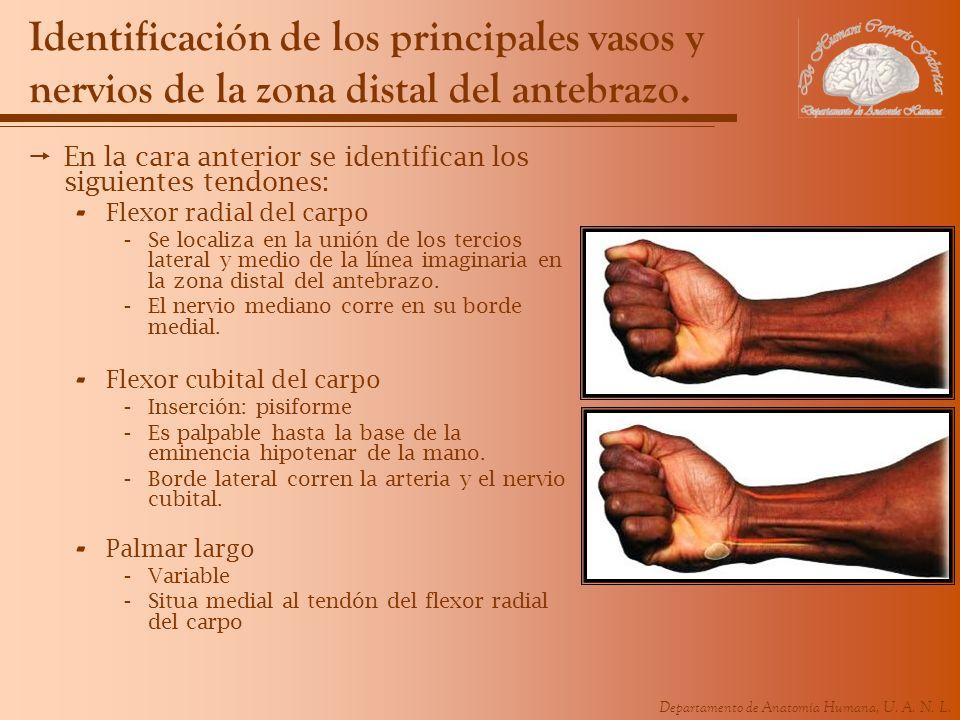 Identificación de los principales vasos y nervios de la zona distal del antebrazo.
