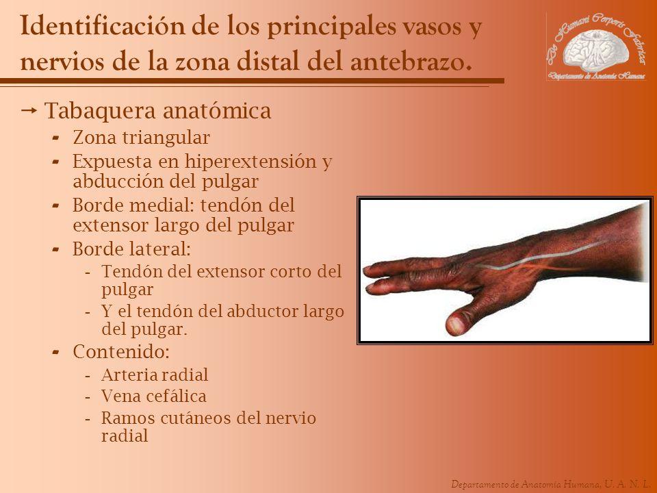 Increíble Nervios Pulgar Anatomía Ornamento - Anatomía de Las ...