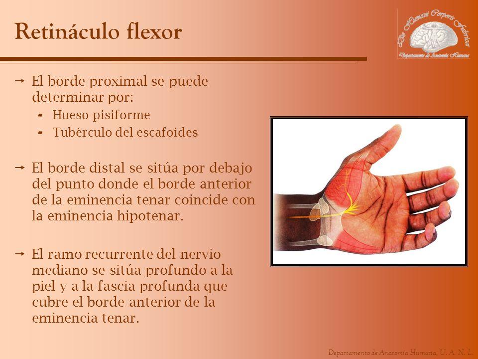 Retináculo flexor El borde proximal se puede determinar por: