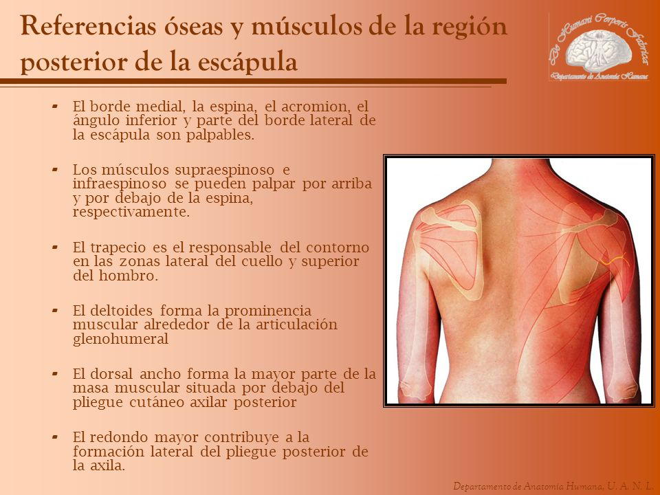 Referencias óseas y músculos de la región posterior de la escápula