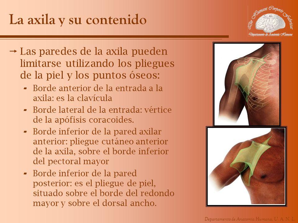 La axila y su contenido Las paredes de la axila pueden limitarse utilizando los pliegues de la piel y los puntos óseos: