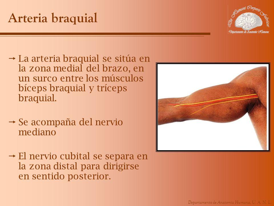 Arteria braquial La arteria braquial se sitúa en la zona medial del brazo, en un surco entre los músculos bíceps braquial y tríceps braquial.