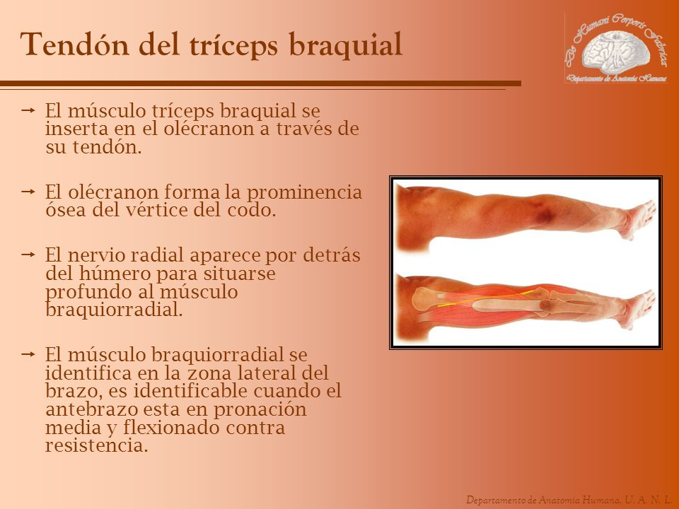 Tendón del tríceps braquial
