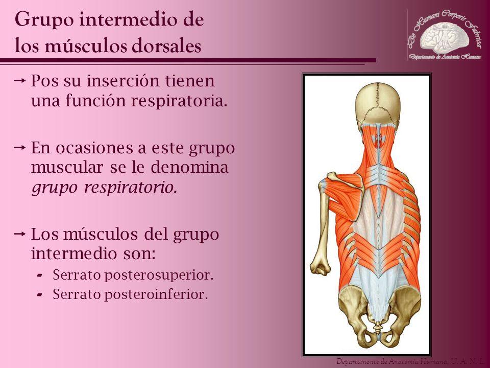 Grupo intermedio de los músculos dorsales