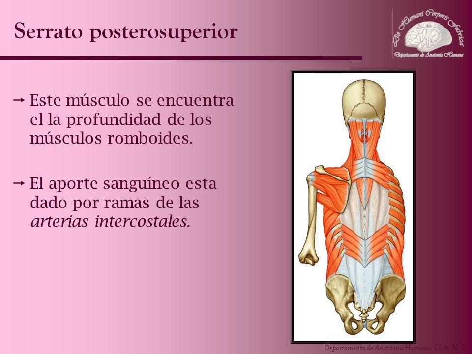 Serrato posterosuperior