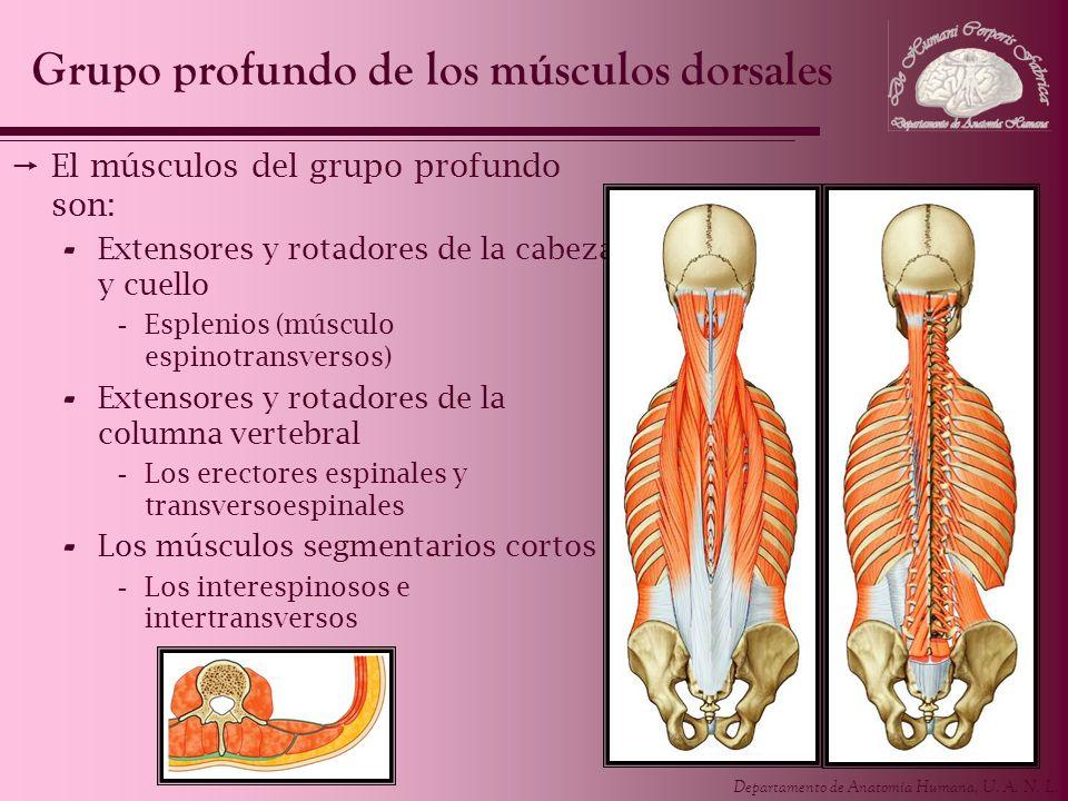 Grupo profundo de los músculos dorsales