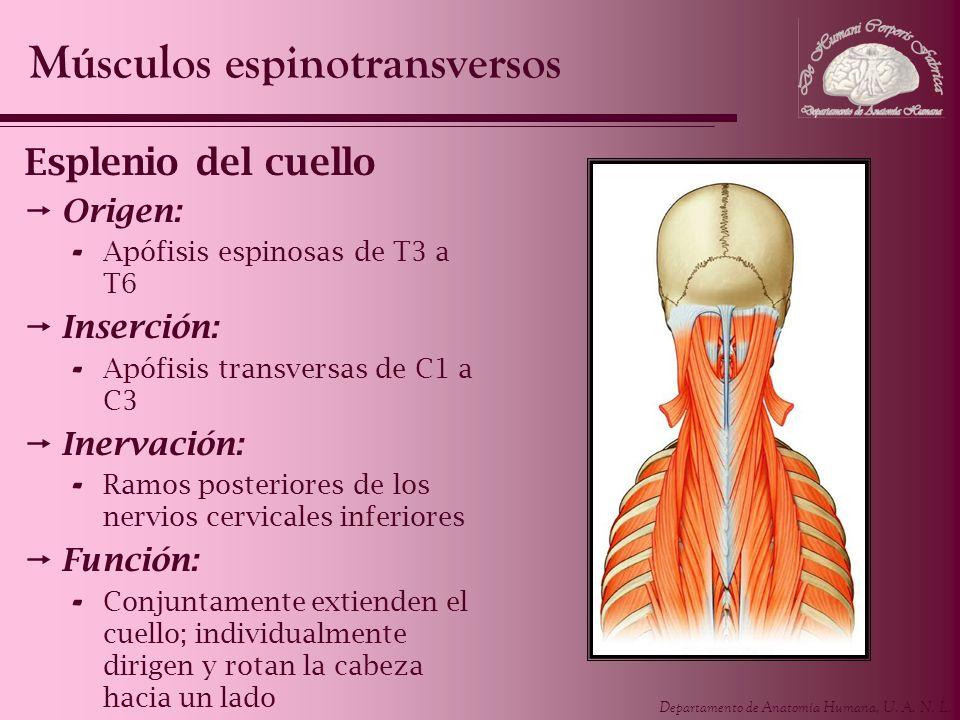 Músculos espinotransversos