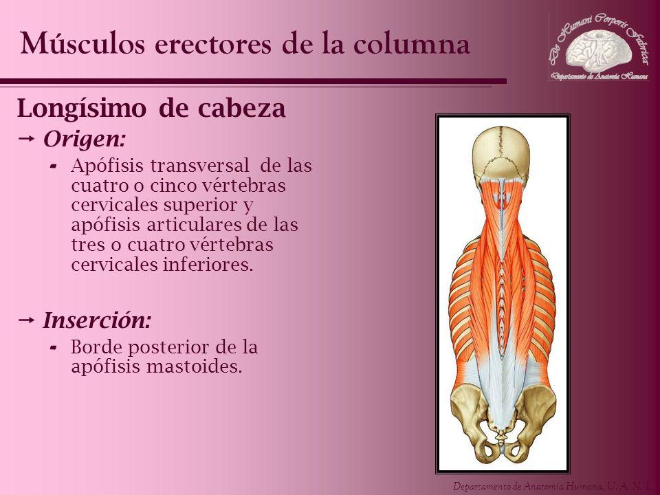 Músculos erectores de la columna