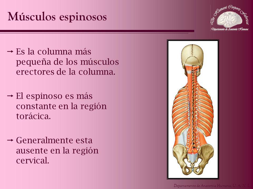 Músculos espinosos Es la columna más pequeña de los músculos erectores de la columna. El espinoso es más constante en la región torácica.
