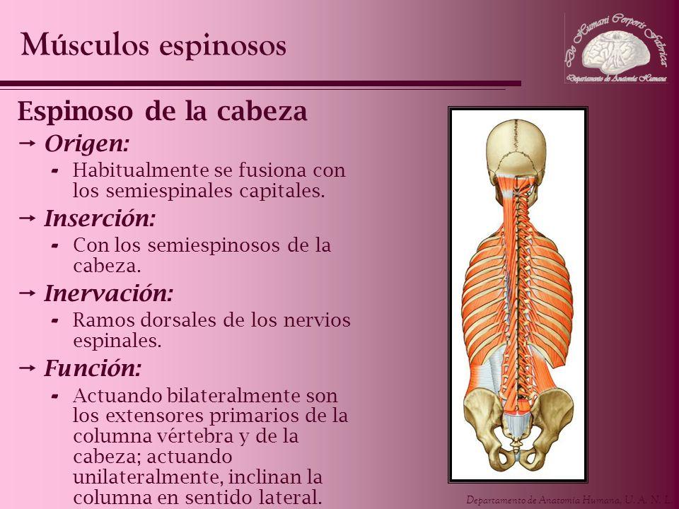 Músculos espinosos Espinoso de la cabeza Origen: Inserción: