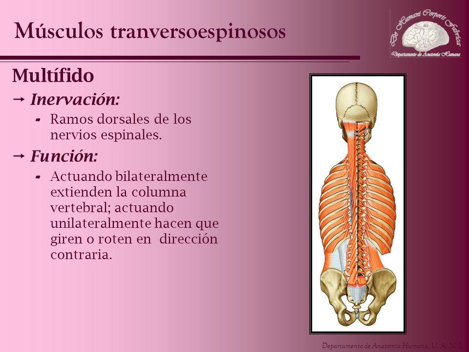 Músculos tranversoespinosos