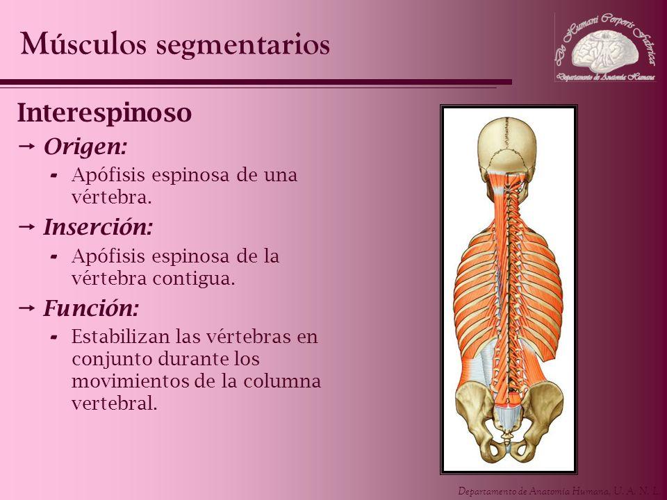 Músculos segmentarios
