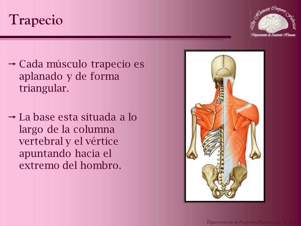 Trapecio Cada músculo trapecio es aplanado y de forma triangular.