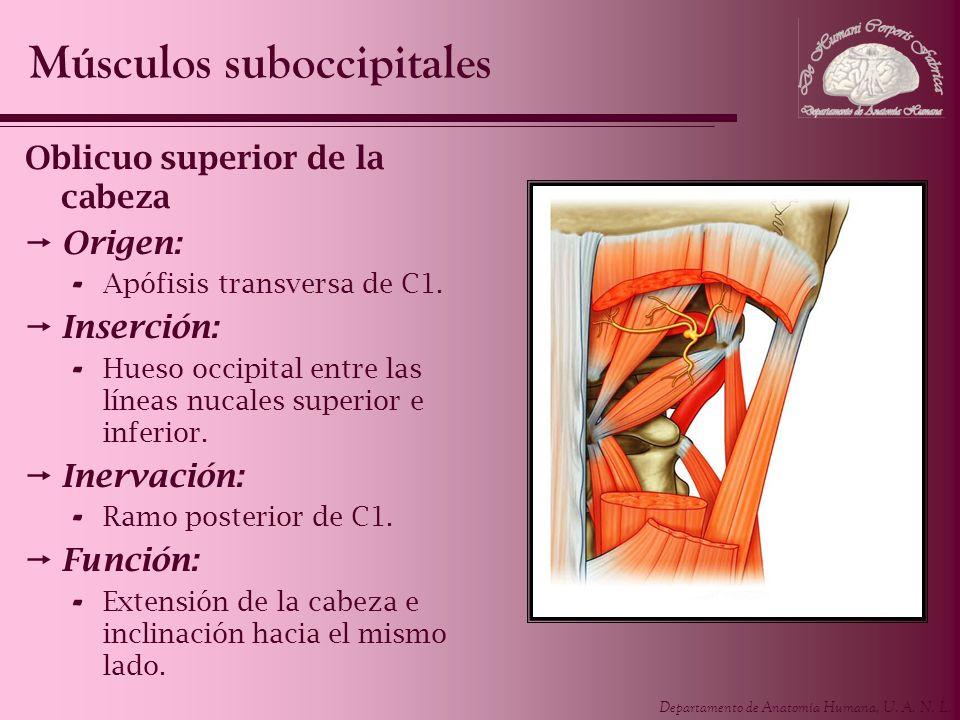 Músculos suboccipitales