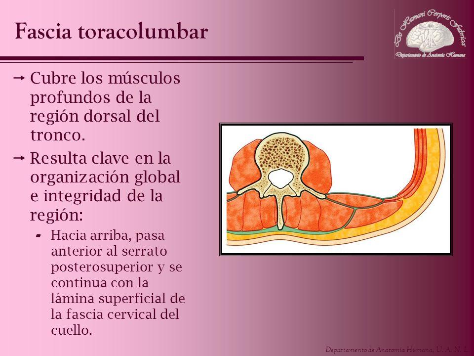 Fascia toracolumbarCubre los músculos profundos de la región dorsal del tronco. Resulta clave en la organización global e integridad de la región: