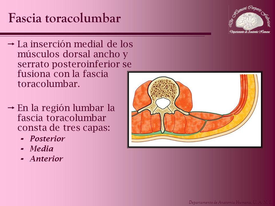 Fascia toracolumbar La inserción medial de los músculos dorsal ancho y serrato posteroinferior se fusiona con la fascia toracolumbar.