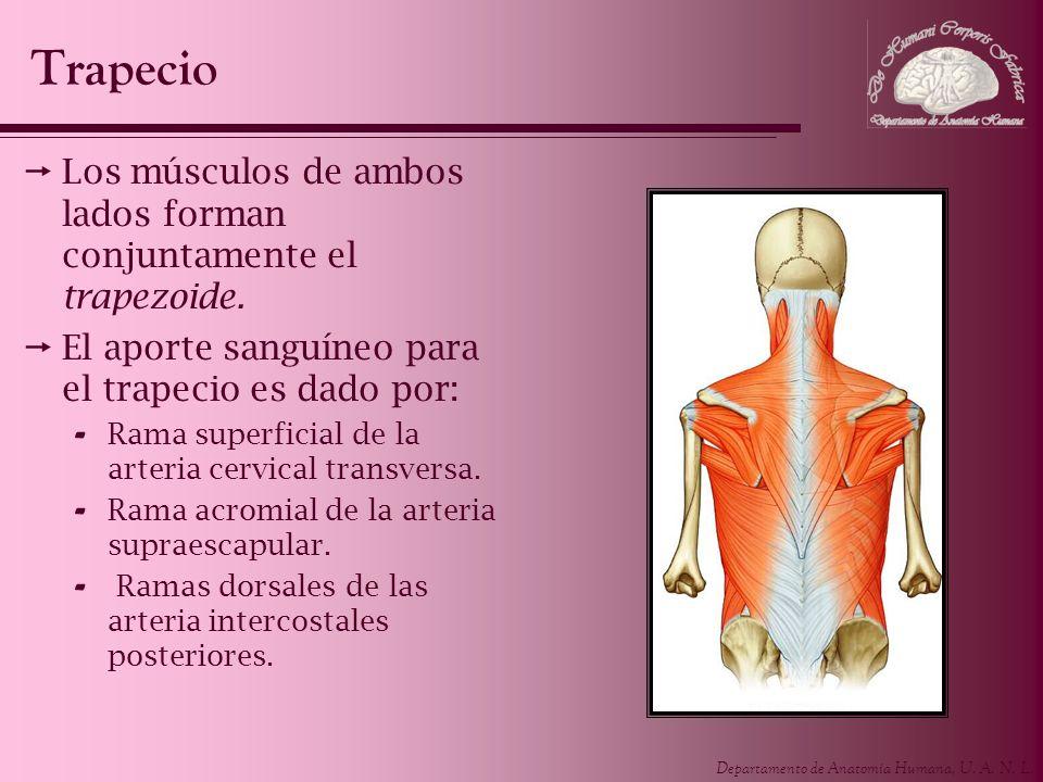Trapecio Los músculos de ambos lados forman conjuntamente el trapezoide. El aporte sanguíneo para el trapecio es dado por: