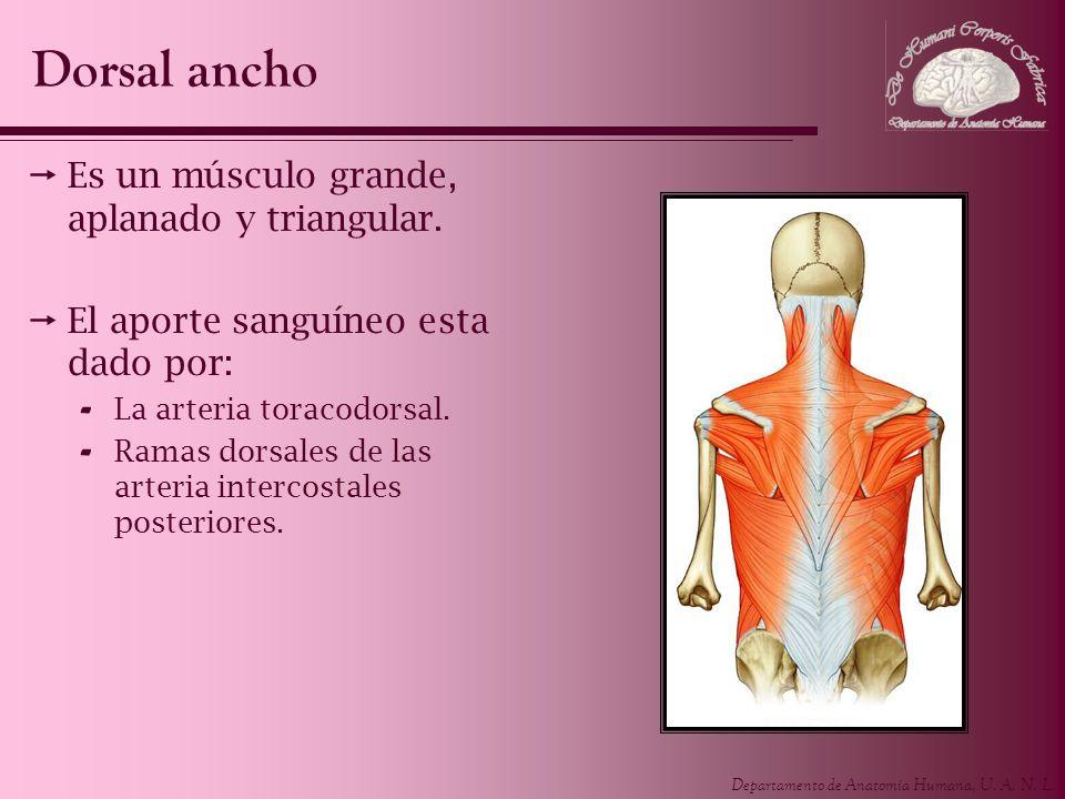 Dorsal ancho Es un músculo grande, aplanado y triangular.
