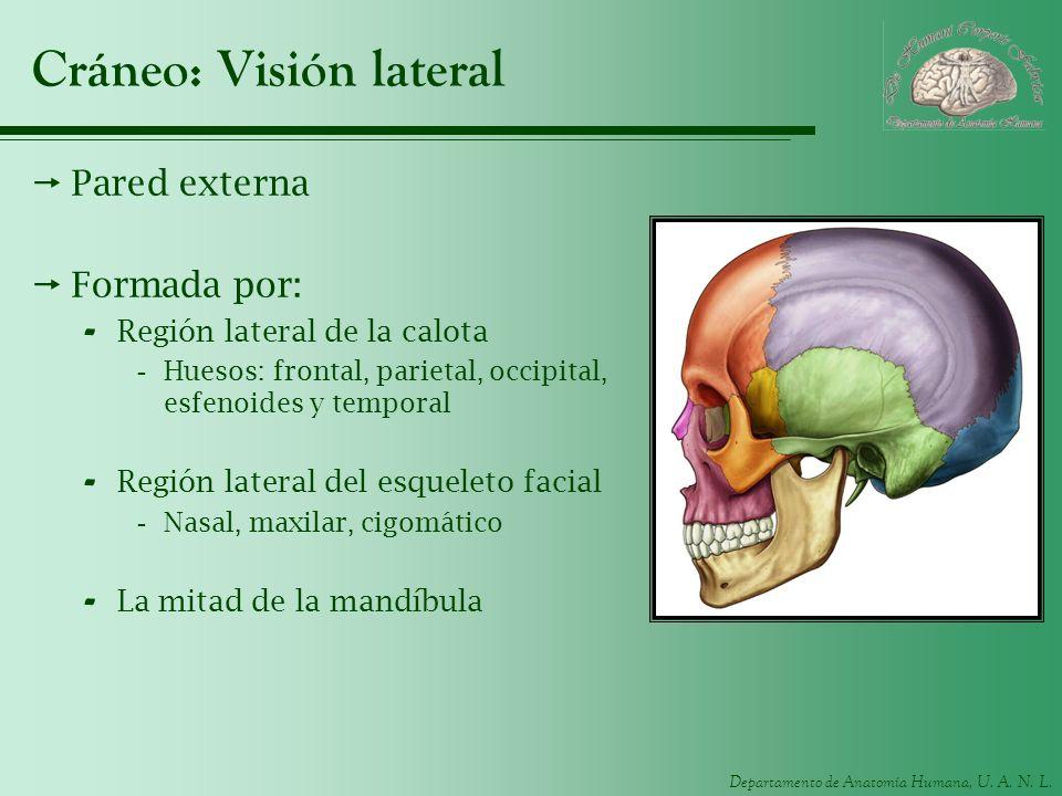 Cráneo: Visión lateral