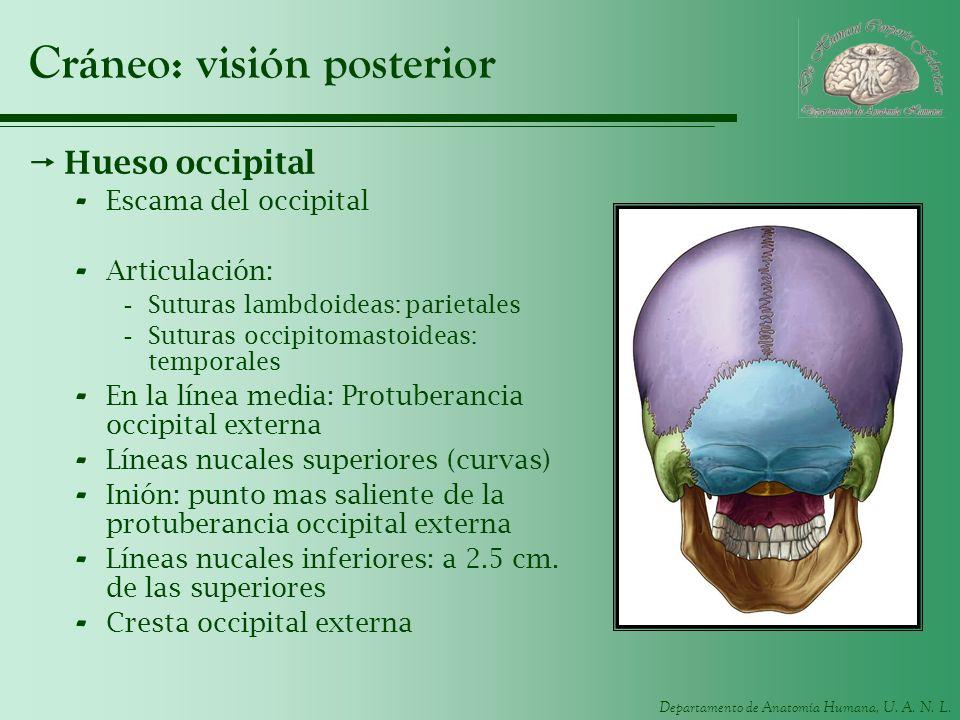 Cráneo: visión posterior