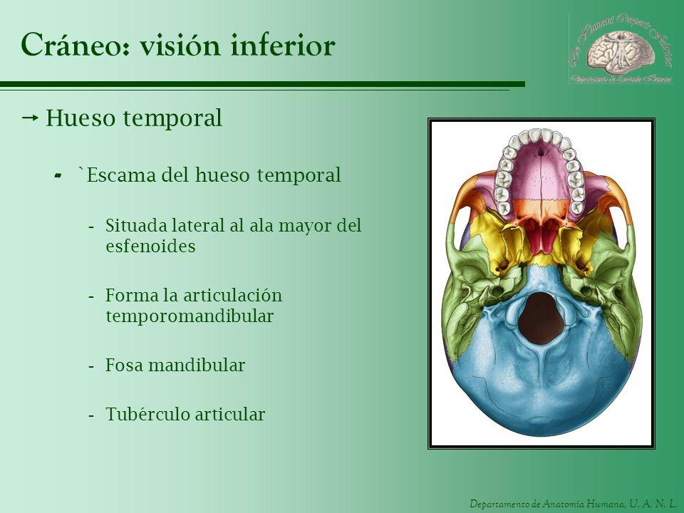 Cráneo: visión inferior