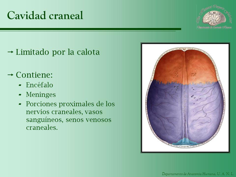 Cavidad craneal Limitado por la calota Contiene: Encéfalo Meninges