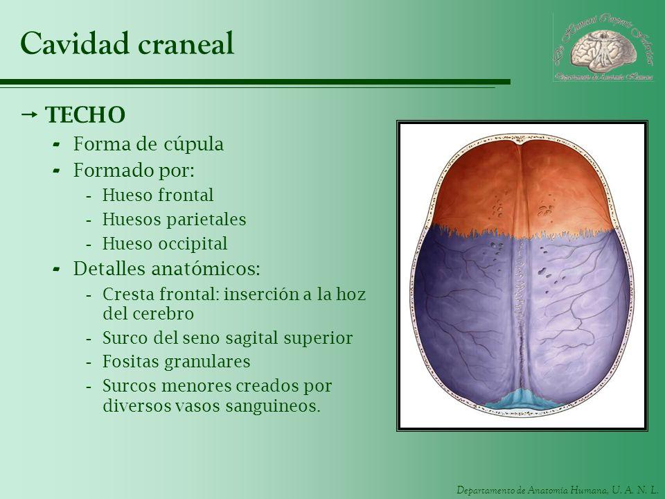 Cavidad craneal TECHO Forma de cúpula Formado por: