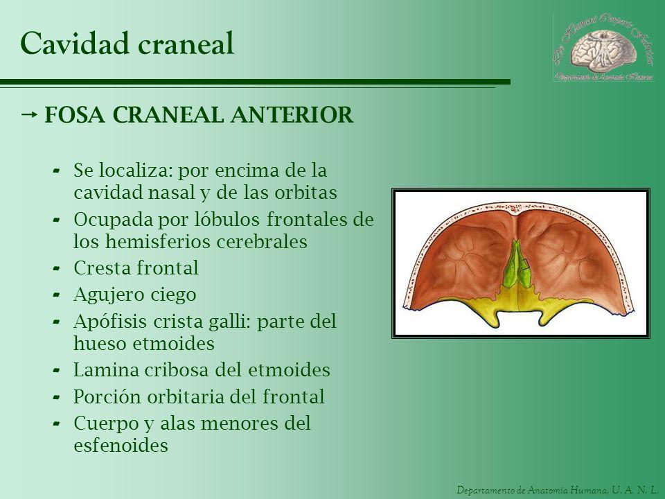 Cavidad craneal FOSA CRANEAL ANTERIOR
