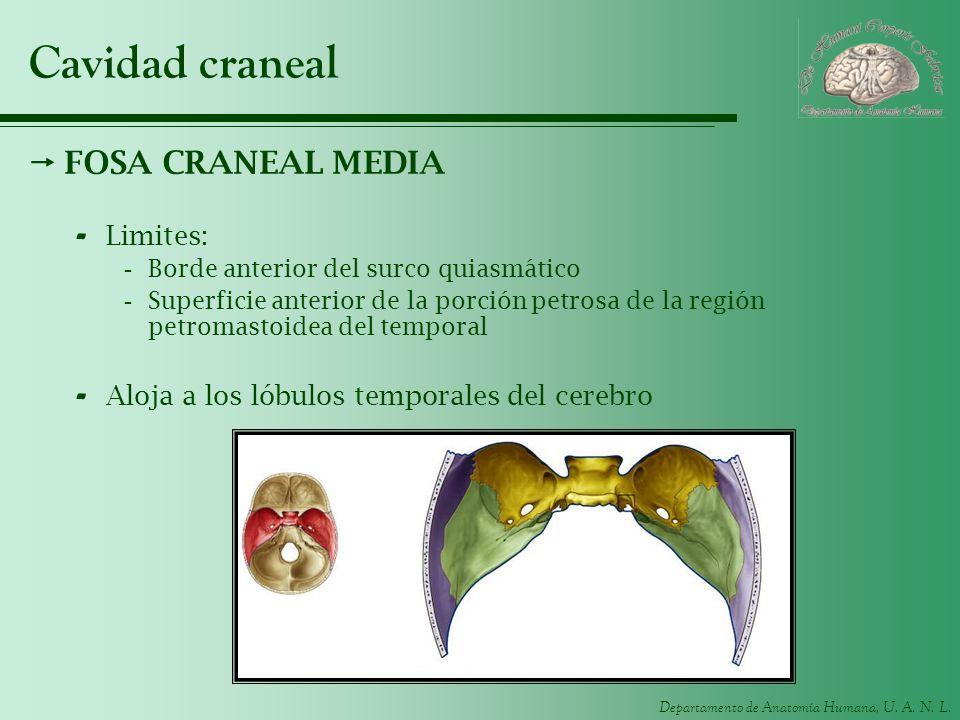 Cavidad craneal FOSA CRANEAL MEDIA Limites: