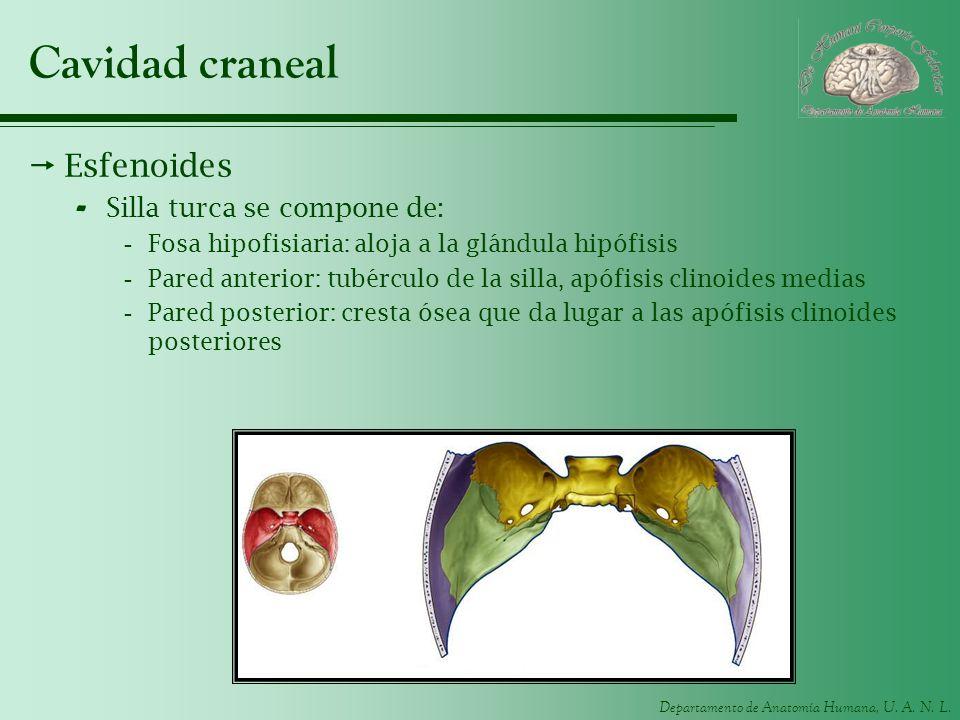 Cavidad craneal Esfenoides Silla turca se compone de: