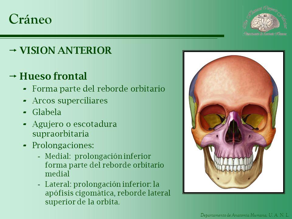 Cráneo VISION ANTERIOR Hueso frontal Forma parte del reborde orbitario