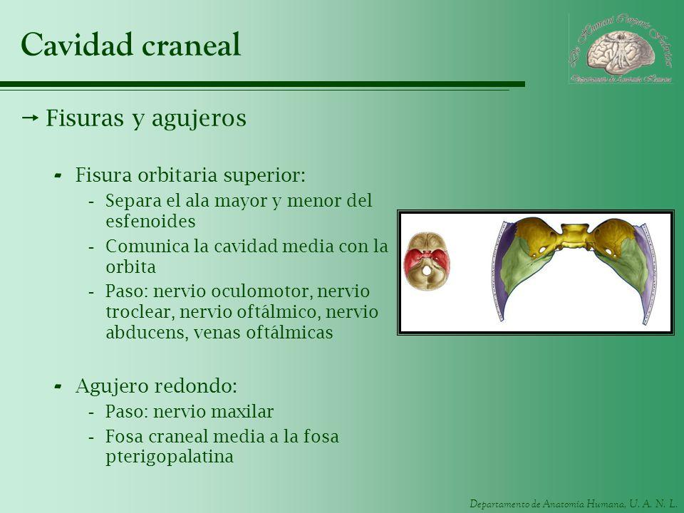 Cavidad craneal Fisuras y agujeros Fisura orbitaria superior: