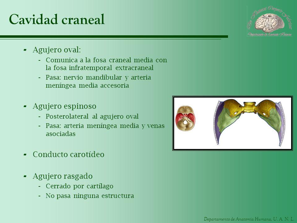 Cavidad craneal Agujero oval: Agujero espinoso Conducto carotídeo